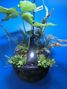 夢道園のマメシダ、黄金シダ(カタシバ)特製吊鉢植え■盆栽■山野草■TS-104