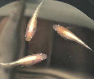 【天帝】東北越冬めだか有精卵20個+α になります。フルボディ 『自然を育みましょう』