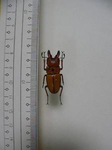 2 クワガタ類頭 フィリピン ミンダナオ島Kitanlad山産 標本 昆虫 甲虫 クワガタムシ