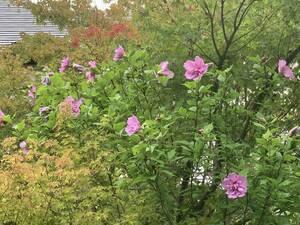 木槿 むくげ 挿し穂 3本 ■送料無料 (庭木 鉢植え 紅ピンク 植木 )挿し木用枝 夏の花 紅色x薄紫