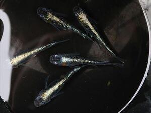PUREメダカ★上物★ オーロラ黄ラメ体外光 6匹 即戦力 卵をとりたい親として使えます!種親・若親ペアー 体外光の美種 血統◎