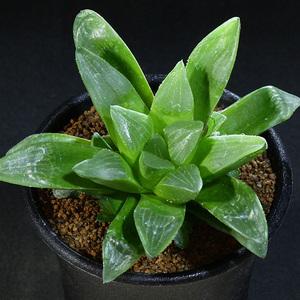 【ハオルチア】 寿宝殿 2.5号 01 Haworthia hyb.retusa 'juhouden' variegata (ハオルシア レア 多肉植物)