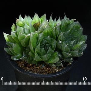 【選抜種】 ハオルチア・ボルシー 3号 5 PR Haworthia bolusii (美窓 ハオルシア ハイブリッド・オブツーサ)