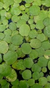 無農薬《浮き草》フロッグピット20株、サンショウモ5株のセットです。