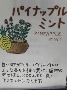 パイナップルミント(ミントハーブ)苗1株