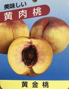 黄金桃 (黄肉桃) 接木苗木