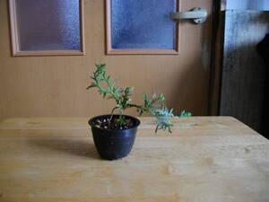 イトヒバ ヒヨクヒバ 盆栽用 苗木 盆栽 素材 糸檜葉 比翼檜葉 実生