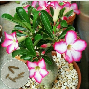 種5粒 砂漠の薔薇 アデニウム オベスム アデニュウム 多肉植物