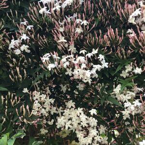 ハゴロモジャスミン  カット苗 挿し木苗 ネコポスいっぱい