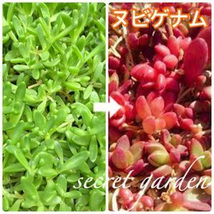 【送料無料 即決】赤い紅葉楽しみ★レア ヌビゲナム 多肉植物 苗 セダム カット苗 セダム 寄せ植え に 育てやすい