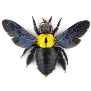 X. aestuans 33 黄色のクマバチ標本 ジャワ島