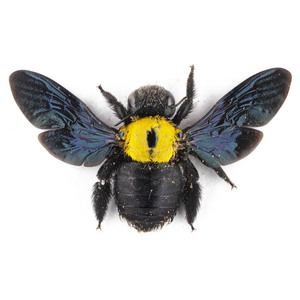 X. aestuans 33 ジャワ島 黄色いクマバチ
