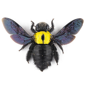 X. aestuans 24 黄色のクマバチ標本 ジャワ島