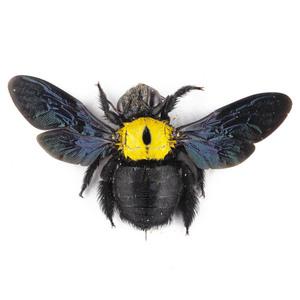 X. aestuans 37 黄色のクマバチ標本 ジャワ島