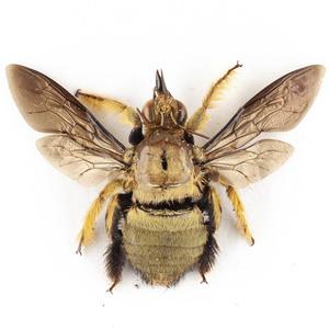 X. confusa 22 金のクマバチ標本 ジャワ島
