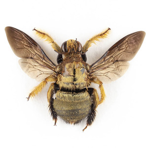 X. confusa 24 金色のクマバチ標本 ジャワ島