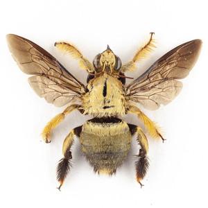 X. confusa 31 金色クマバチ標本 ジャワ島