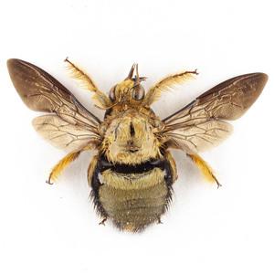 X. confusa 35 金色のクマバチ標本 ジャワ島