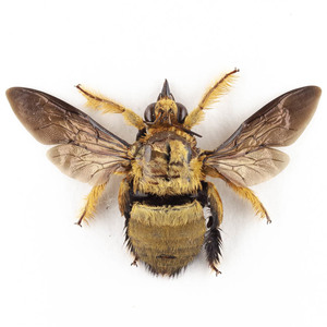 X. confusa 40 クマバチ標本 ジャワ島