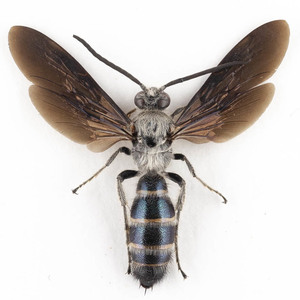 B. annulatus 07B 標本 ジャワ島