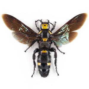 M.p. javanensis 08P 大きなツチバチ標本ペア ジャワ島
