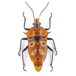 C. ocellatus 44 ジャワ島 カラフルなカメムシ標本