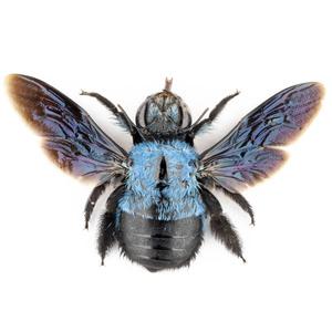 X. caerulea 131 スマトラ島 青いクマバチ標本