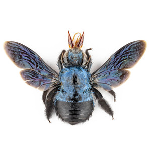X. caerulea 130 青いクマバチ標本 スマトラ島