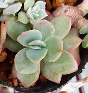 オマケつき 多肉植物 ルエラ エケベリア 根付き苗1本☆大きさ3~4cm位になります。