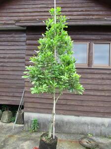 evergreen fruit tree *yama Momo * H2.0m great popularity 4