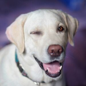 即決 フリー素材 画像データ 即決価格 画像 犬 ウィンク ラブラドールレトリバー