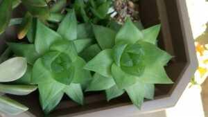 多肉植物 ハオルチア 抜き苗