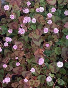 可愛いお花 ヒメツルソバ抜き苗 ネコポスいっぱい。