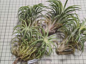 Tillandsia ionantha var. maxima ex. E** チランジア イオナンタ 欧州植物園由来 monkey tail RFI 代替品
