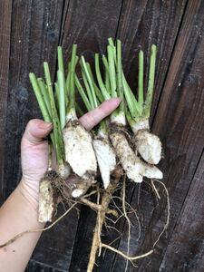 山ワサビ 種芋苗 ホースラディッシュ 無農薬