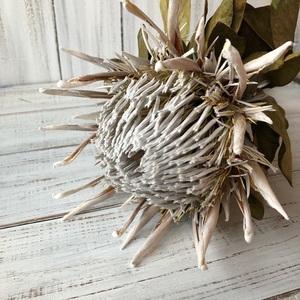 キングプロテア アークテックアイス 1本50cmドライフラワー花材 そのままインテリアやスワッグ 撮影小道具などに ワイルドフラワー