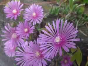 寄せ植えも可愛い♪デロスペルマ属「麗晃・・・レイコウの小苗」開花可能の苗♪多肉植物