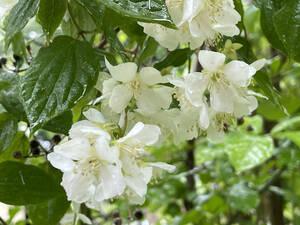 梅花空木 バイカウツギ 4本 ■送料無料 クリックポスト(梅や桜の花に似た花)挿木 用 庭園木 低木 ガーデニング 華やか