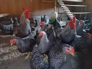 孵化用 岡崎おうはんの 有精卵 56個
