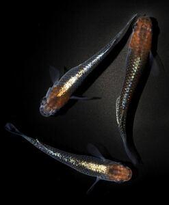 煌 松井ヒレ長 有精卵10個+α★黒ラメ サファイアめだか卵、白ブチラメ サファイア卵、深海卵、龍の瞳卵などと同梱可★
