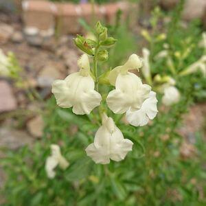 チェリーセージ サンゴールド 花の苗 イエロー