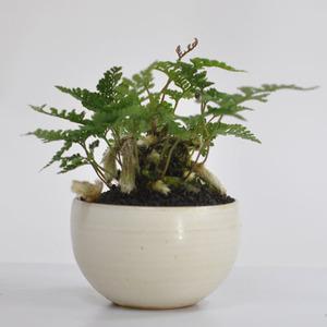 トキワシノブ トキワシノブのミニ盆栽 涼をとる真夏の草盆栽 ギフト 盆栽 お祝い 退職 ラッピング
