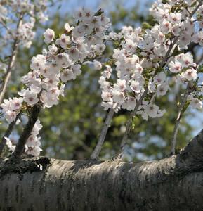 桜 ソメイヨシノ 挿し穂 5本 ■送料無料 /sakura さくら 庭木 植木 染井吉野 挿し木 クリックポス