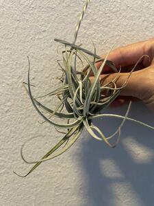 Tillandsia recurvifolia  ティランジア レクルビフォリア  エアープランツ クランプ 6頭