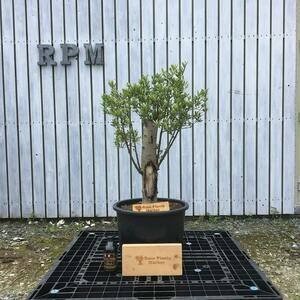 SSK2 スペイン産 オリーブの木 幹太 観葉植物 鉢植え 地植え 福岡販売