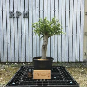 SSK4 スペイン産 オリーブの木 幹太 観葉植物 鉢植え 地植え 福岡