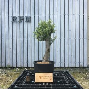 SSK6 スペイン産 オリーブの木 幹太 観葉植物 鉢植え 地植え 福岡販売