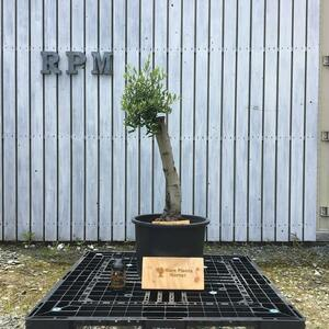 SSK8 スペイン産 オリーブの木 幹太 観葉植物 鉢植え 地植え 福岡販売
