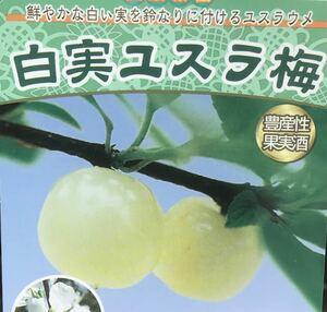 白実 ゆすらうめ 山桜桃梅苗木