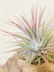 【Frontier Plants】チランジア・イオナンタ・グアテマラハードリーフ T. ionantha Guatemala Hard Leaf エアープランツ ブロメリア